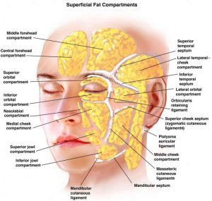 Fat compartments of the face